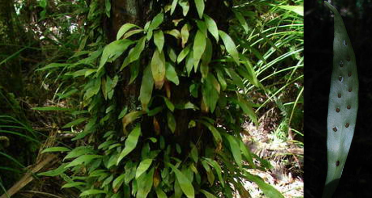 Loxogramme dictyopteris - lance fern - New Zealand Photo by Dave Woodward
